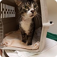 Domestic Shorthair Cat for adoption in Marco Island, Florida - Cody