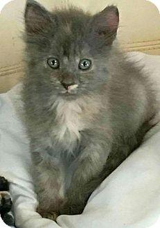Domestic Longhair Kitten for adoption in Texarkana, Arkansas - Lindsay