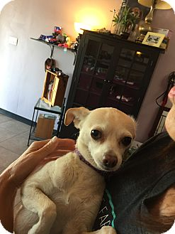 Smooth Fox Terrier/Chihuahua Mix Dog for adoption in Hawthorne, California - Jackie