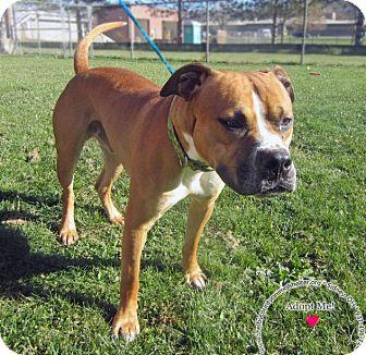 Boxer Mix Dog for adoption in Sidney, Ohio - Eddy