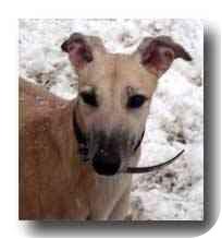 Greyhound Dog for adoption in Roanoke, Virginia - Kayla