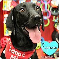Adopt A Pet :: Espresso - South Plainfield, NJ