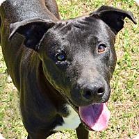 Adopt A Pet :: DESMOND - Brooksville, FL