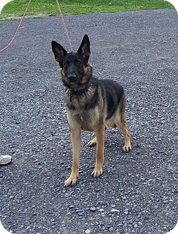 German Shepherd Dog Dog for adoption in Tully, New York - SOPHIE
