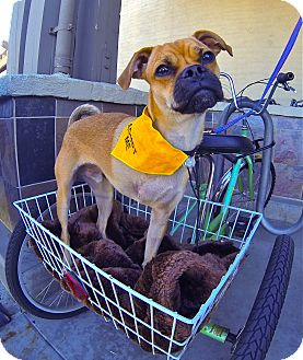 Pug/Whippet Mix Dog for adoption in Burbank, California - Mugsy