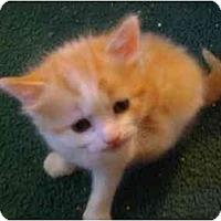Adopt A Pet :: Kitten (Closet) - Westfield, MA