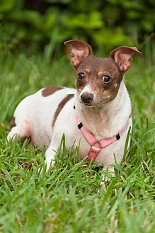 Rat Terrier Dog for adoption in Palm Harbor, Florida - Layla