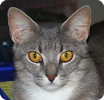 Domestic Shorthair Cat for adoption in North Branford, Connecticut - Kanga