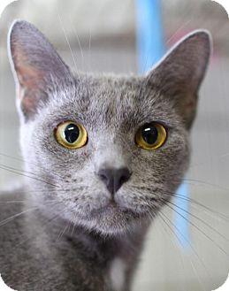 Domestic Shorthair Cat for adoption in Winston-Salem, North Carolina - Sofi