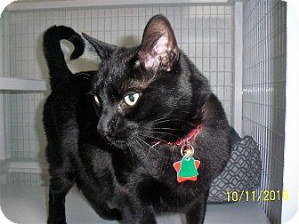 Domestic Shorthair Cat for adoption in Gunnison, Colorado - Diamond Jim