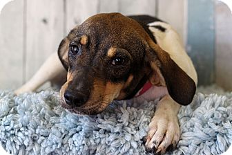 Hound (Unknown Type) Mix Dog for adoption in Waldorf, Maryland - Shilo
