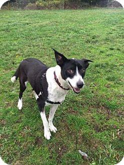 Border Collie/Labrador Retriever Mix Dog for adoption in Eastsound, Washington - Molly