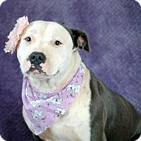 Adopt A Pet :: Bella - West Springfield, MA