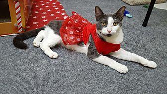 Domestic Shorthair Cat for adoption in Pasadena, California - Mena