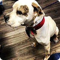American Bulldog Dog for adoption in Bryan, Texas - Ajax