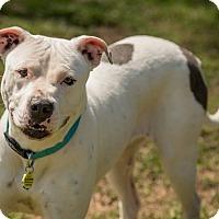 Adopt A Pet :: Elsa - simpsonville, SC