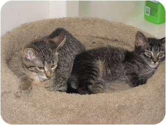 Domestic Shorthair Kitten for adoption in Roseville, Minnesota - Brodie and Bridget