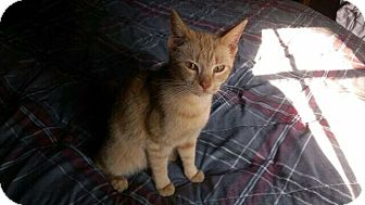 Domestic Shorthair Cat for adoption in Port Republic, Maryland - Ginger