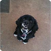 Adopt A Pet :: Jack Sparrow - Arlington, TX