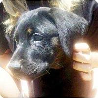 Adopt A Pet :: MICKIE - Gilbert, AZ