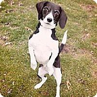 Adopt A Pet :: Dakota - Schererville, IN