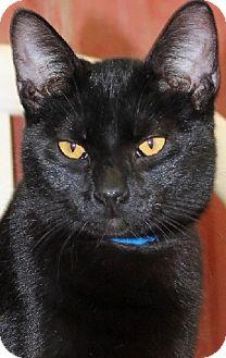 Domestic Shorthair Cat for adoption in Savannah, Missouri - Trevor