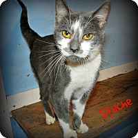 Domestic Shorthair Cat for adoption in Lawrenceburg, Tennessee - Stache