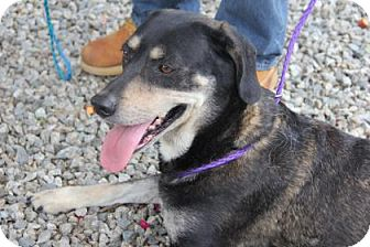 Shepherd (Unknown Type) Mix Dog for adoption in Greensboro, North Carolina - Katy