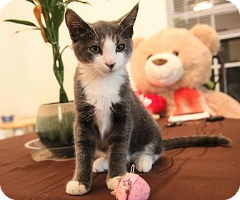 Domestic Shorthair Kitten for adoption in Charlotte, North Carolina - A..  Oswald