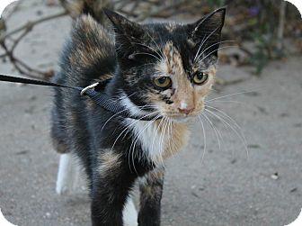Domestic Shorthair Kitten for adoption in Ocean Springs, Mississippi - Violet