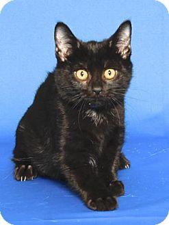 Domestic Shorthair Kitten for adoption in Gloucester, Virginia - NORMAN BATES