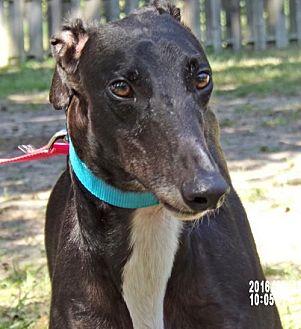 Greyhound Dog for adoption in Cherry Hill, New Jersey - Hawk 'Archer'