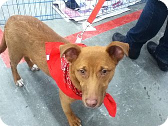 Feist Mix Puppy for adoption in Patterson, New York - Bella