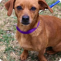 Adopt A Pet :: Roxie - Chester Springs, PA