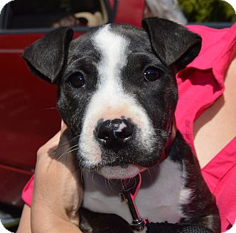 Bull Terrier Mix Puppy for adoption in CRANSTON, Rhode Island - Dolly