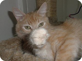 Domestic Shorthair Cat for adoption in Phoenix, Arizona - Butterscotch