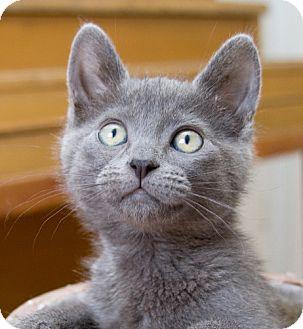 Domestic Shorthair Kitten for adoption in Irvine, California - Lexie