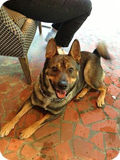 Shiba Inu/Dutch Shepherd Mix Dog for adoption in Atlanta, Georgia - DJ