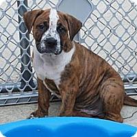 Adopt A Pet :: Ringo - Minneola, FL