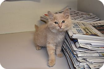 Domestic Mediumhair Kitten for adoption in North Judson, Indiana - Scarecrow