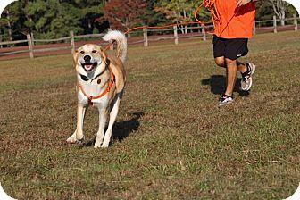 Great Pyrenees/Husky Mix Dog for adoption in Pinehurst, North Carolina - Duncan-Adoption Pending