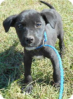Labrador Retriever/Doberman Pinscher Mix Puppy for adoption in Allentown, New Jersey - Bongo