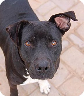 Staffordshire Bull Terrier/Boxer Mix Dog for adoption in Phoenix, Arizona - Darla