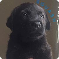 Adopt A Pet :: Squash - Pitt Meadows, BC