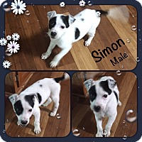 Adopt A Pet :: Simon pending adoption - Manchester, CT