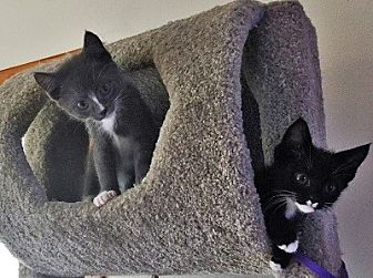Domestic Shorthair Kitten for adoption in Woodland Hills, California - Bruce & Bob