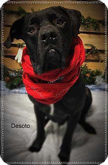 Mastiff Mix Dog for adoption in Wenonah, New Jersey - Desoto