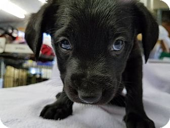 Labrador Retriever Mix Puppy for adoption in Fort Atkinson, Wisconsin - Simba