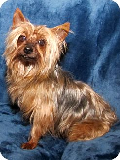 Yorkie, Yorkshire Terrier Dog for adoption in Encino, California - Austin