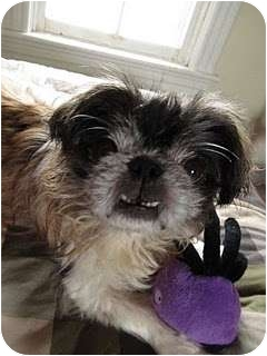 Pekingese Dog for adoption in Richmond, Virginia - Wilson